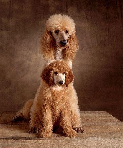 barbone standard poodles | Evcil Hayvanlar Hakkında Herşey » Standart Kaniş Köpek Irkı
