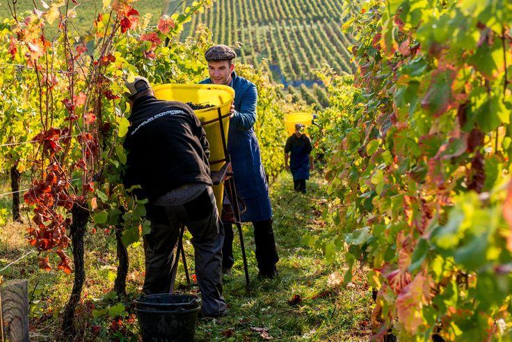Harvest - Vendanges 2016 Domaine de l'Envol