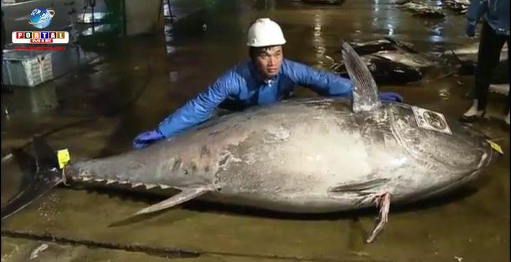 Um atum gigante foi pescado e entregue na província de Wakayama, com peso e comprimento históricos. Confira.