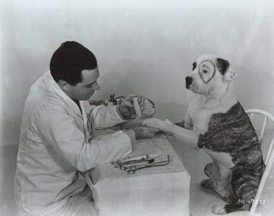Petey The Dog from the Little Rascals series gets a manicure before appearing on screen.