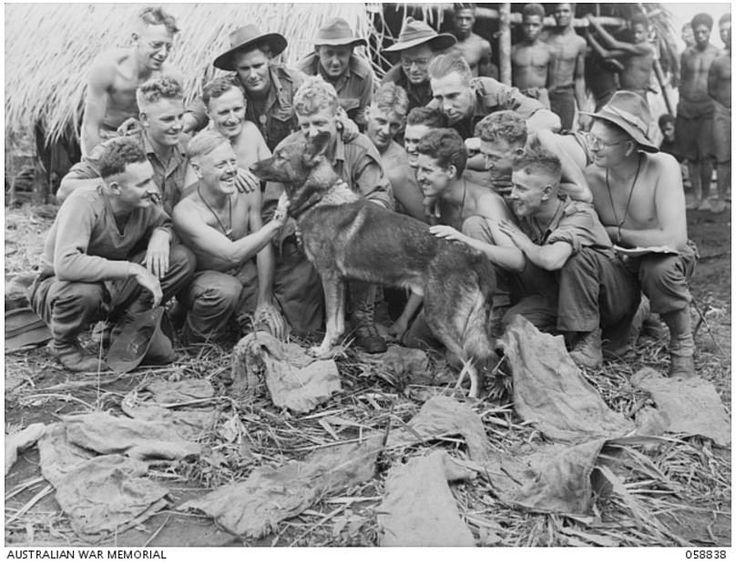 Австралийские солдаты (Second Australian Imperial Force (2nd AIF) ) возле немецкой овчарки Сэнди -  военная собака-разведчик, обученная отрядом Соединенных Штатов для австралийской армии. На дальнем плане фото, справа папуасы - гражданские лица. Фариа Valley, Новая Гвинея, 20 октября 1943-го