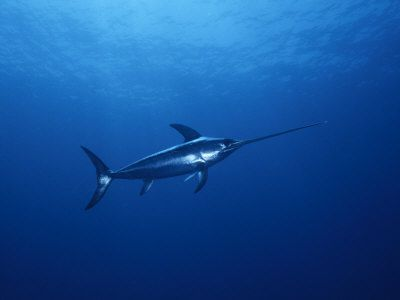 Legendary Fish - Broadbill Swordfish