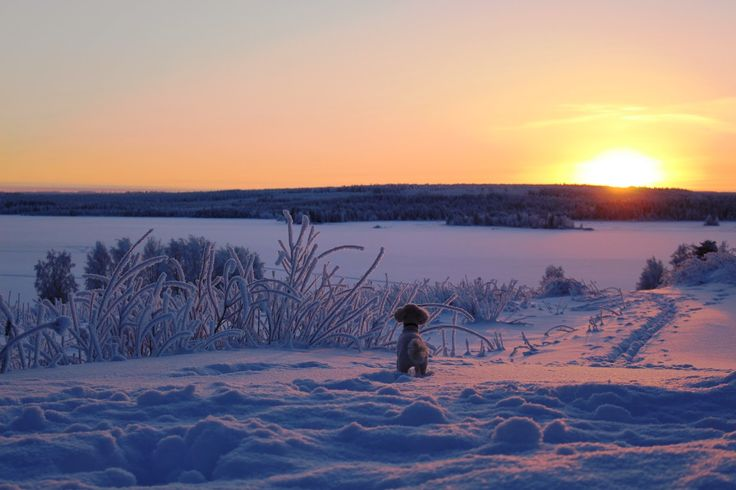 Tobbe the Poodle at Finnish Winter <3