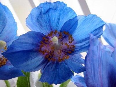 Himalayan Blue Poppy Bouquet 266 best Fl : P...