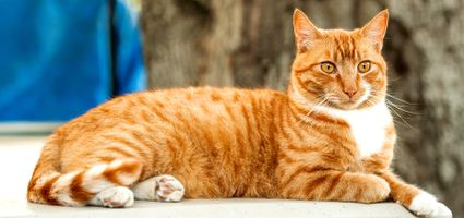 People sometimes call the average domestic cat a Tabby, but tabby is not a cat breed -- it is actually the pattern of kitty's coat. There are five types of tabby coat patterns.