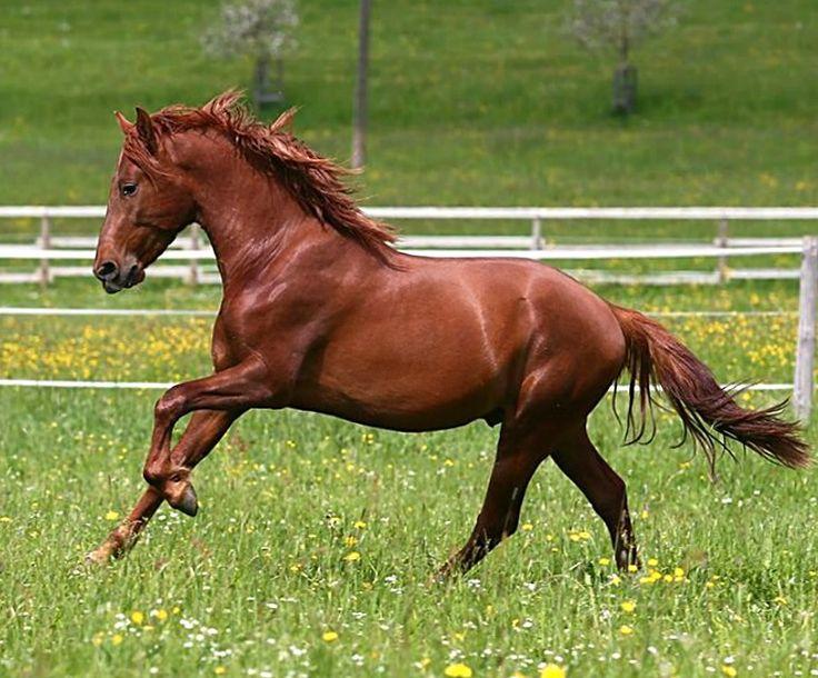 abbastanza 29 best CAVALLI le varie RAZZE images on Pinterest   Horses  QA31