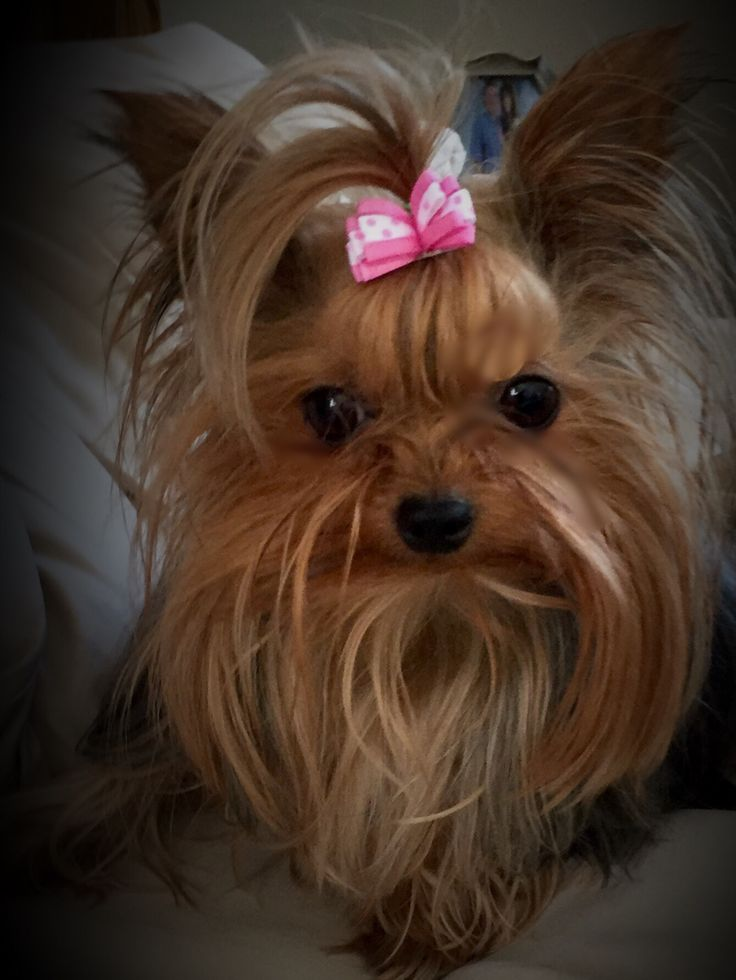 Paisley my baby girl | Cute small dogs, Yorkie dogs ...
