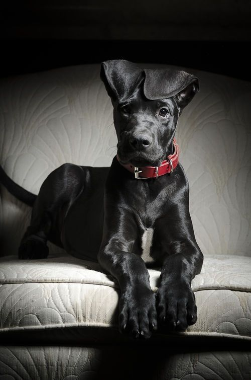 I want this Great Dane his ears are so freaking cute