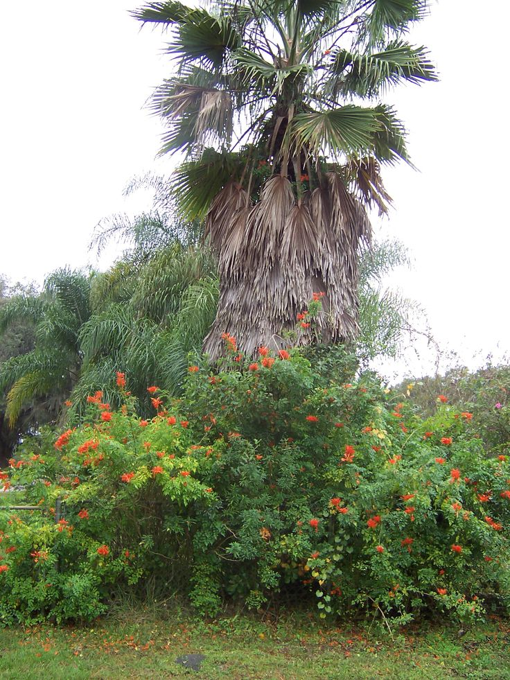 Mexican fan palm