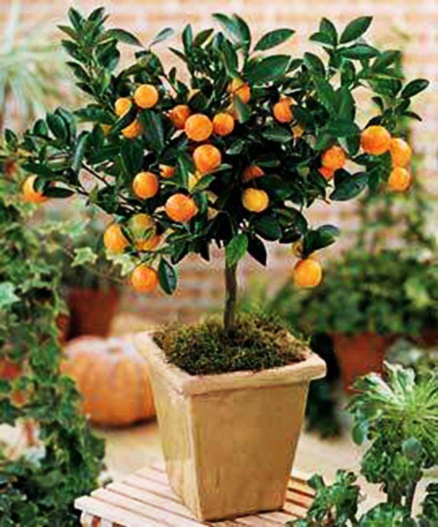 Detalhe: pé de limão capeta no vaso. Árvore e frutos