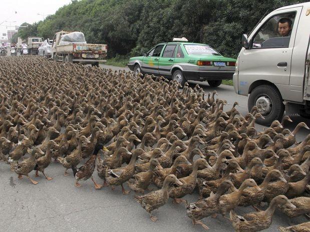 Motorista de caminhão (dir.) se surpreende com bando que cruzam rua na localidade de Taizhou, na província chinesa de Zheijang. Camponeses pararam o trânsito local para conduzir cerca de 5 mil aves para um lago, segundo informações da mídia local  Foto: Reuters