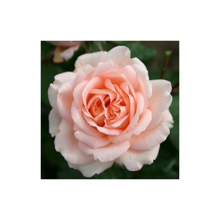 Rosa 'Clair Renaissance' - Roser - Langeskov Planteskole Blomster- og Havecenter
