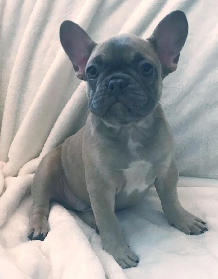 Akc Jupiter Mini Lilac With Blue Mask And Blue Eyes Male French Bulldog Puppy Companion 2000 00 Frenc French Bulldog Puppy Bulldog Puppies French Bulldog