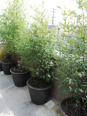 Potted Black Bamboo - How To Easily Add Portable Privacy – Bamboo In Barrels