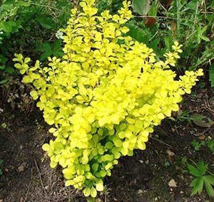 Барбарис Тунберга Ауреа - Барбарис «Ауреа» («Aurea») – куст, по сравнению с предыдущей разновидностью невысокий – 0,8 м. Листья желто-оранжевые. Цветение начинается в мае и длится около 14 дней. Цветки очень красивые – в середине желтые, а по краям красные.