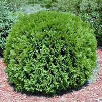 The Globe Arborvitae, Thuja occidentalsis, is a globe shaped dwarf arborvitae tree. This Arborvitae tree has bright green foliage and is one of the hardiest growing evergreen trees. It does not need to be sheared to maintain the globe shape!  The Globe tree or shrub thrives in full sun or light shade, and can grow in a variety of soil conditions. This shrub has great appeal as a specimen planting or as an accent shrub in a garden area.