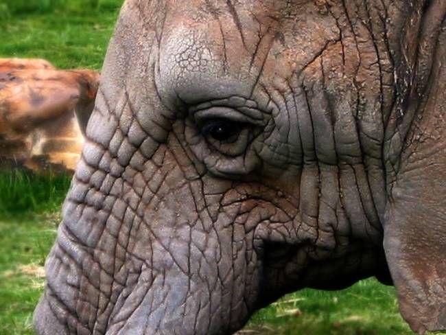 Indian-Elephant---eye-profile.jpg (650×488)