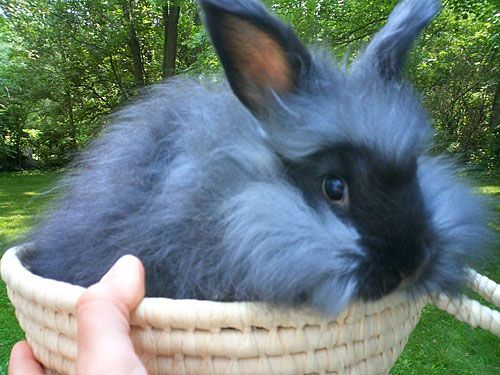 angora rabbit pictures- look it's a black