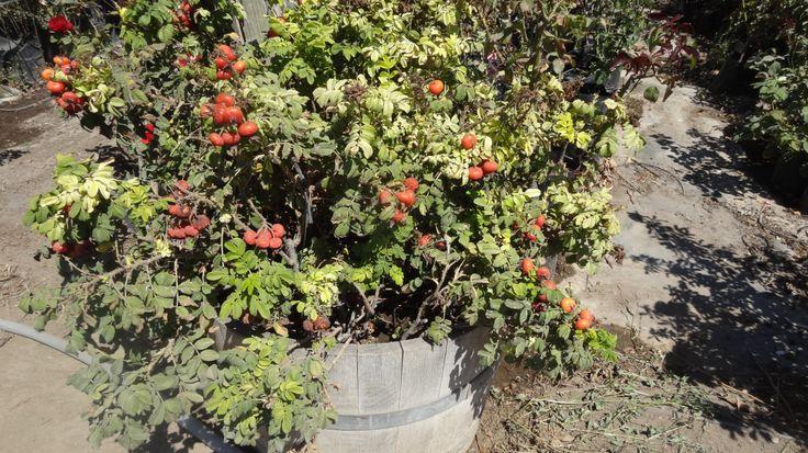 Planta de rosa con tomatitos