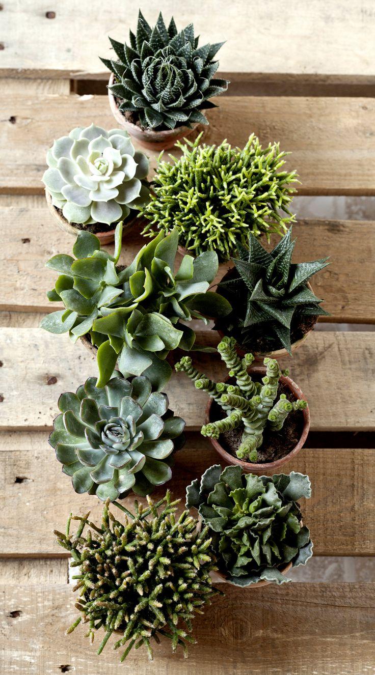 Samling af sukkulenter, som både er dekorative og nemme at passe.  #sukkulenter #grønneplanter #grønnestueplanter #potteplanter #houseplant #indoorplant #succulentplant #plantorama