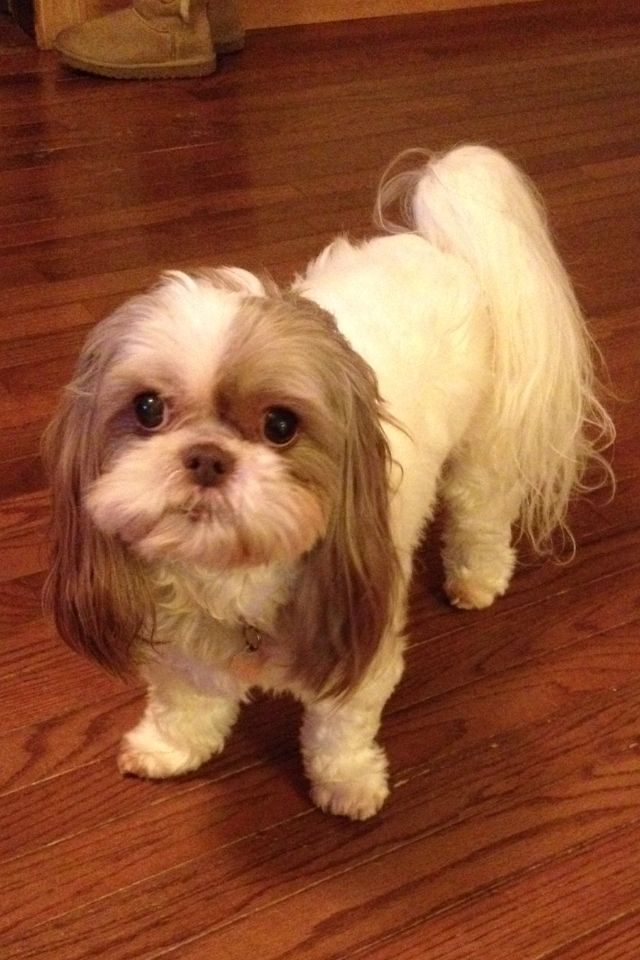 Shih Tzu Look At Those Long Ears Shih Tzus Are The