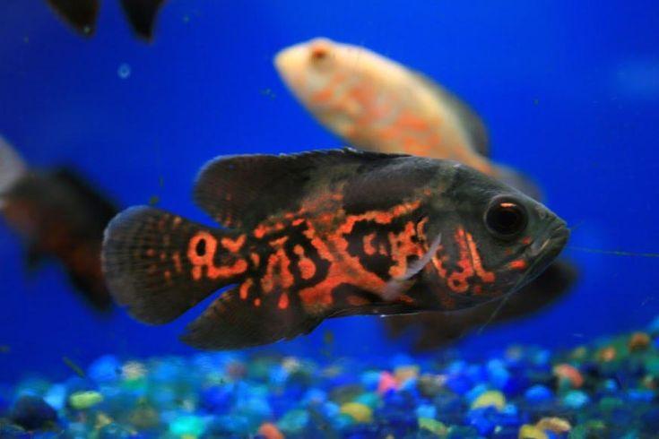 Exotic Fish Freshwater Aquarium