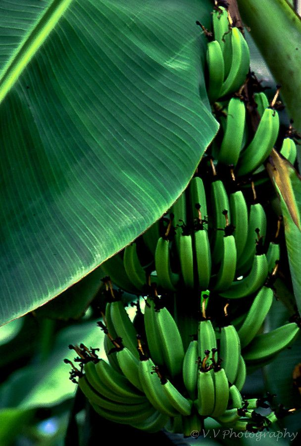 Green | Grün | Verde | Grøn | Groen | 緑 | Emerald | Colour | Texture | Style | Form | Banana Tree ~ Photography by Vien Vo on 500px.