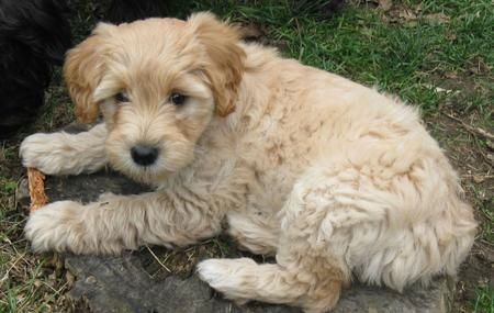 Our next pup. A Schnoodle! I am in love!!!!