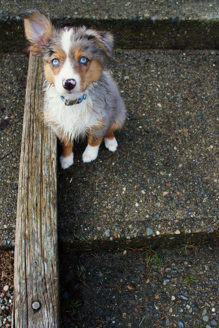 miniature australian shepherd. blue merle. bear. 2 months. puppy.