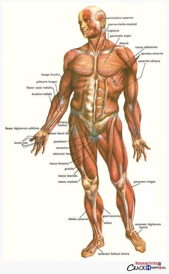 Pin de Hubber Art en Fisics Character | Pinterest | Anatomía humana ...