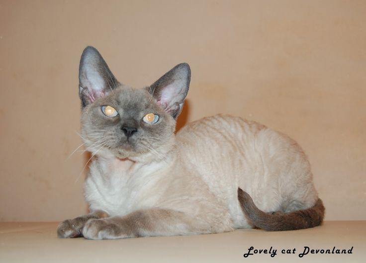 Питомник девон рексов DEVONLAND: Новые фото нашего кота Lovely cat Devonland