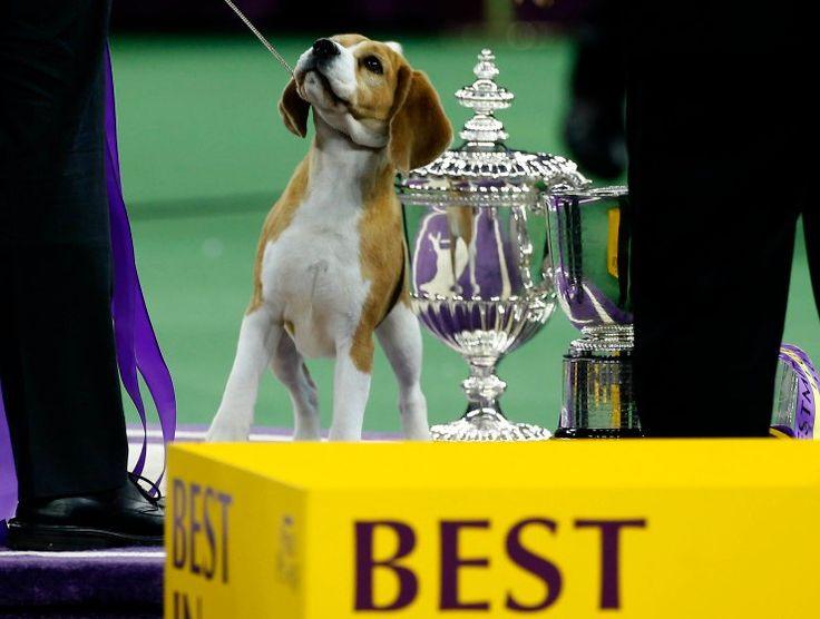 Westminster Dog Show  Tv Beagle Star