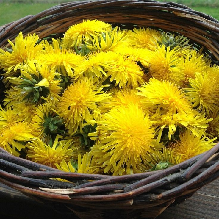 Dandelions are quietly fierce with strong roots that strive to break into hard ground, reaching for nutrients and life despite adverse circumstance. This vivacious and tenacious quality is part of the medicine dandelion offers us. Imbued with a strength and lust for life, dandelion imparts this strength to our bodies. This modest yet powerful little plant is often accursed by modern gardeners. We would be wise to embrace it's many virtues and cultivate rather than fight it's existence ...