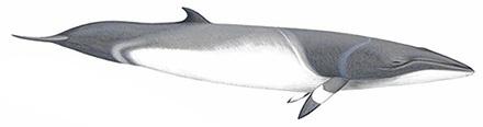 Minke Whale, Balaenoptera acutorostrata.