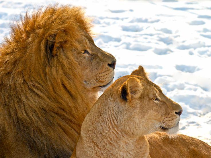 ライオンのカップル2