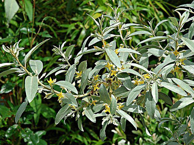 olivier de boheme