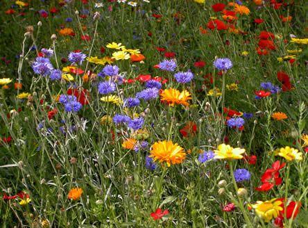 http://www.tuinadvies.be/artikels/aanleg_van_een_bloemenweide.htm