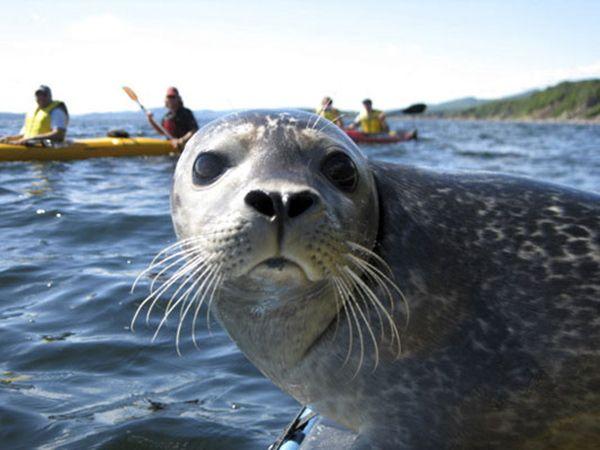 RS - Parc national Forillon. Kayak de mer avec les phoques. Photo Auberge Griffon Aventure, Gaspé.