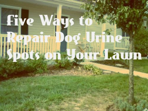 To Repair Dead Grass Spots from Dog Pee- Neutralize the nitrogen with baking soda. Pour 2 tablespoons of baking soda dissolved in a gallon of water on a burn spot, which neutralizes the concentrated amounts of ammonia and nitrogen in the dog pee that burned the grass.