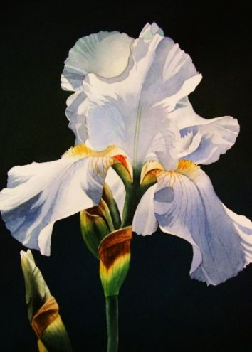 White Iris, painting by artist Jacqueline Gnott