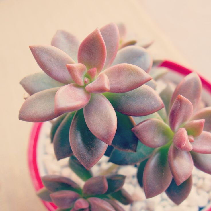 "Alpenglow ""Vera Higgins"" Graptosedum | Botanical Diary"