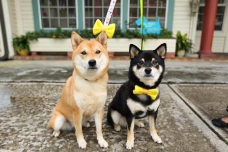 ¿Sabes lo que significa la cinta amarilla que se ata a los perros? http://www.mascotadomestica.com/articulos-sobre-perros/que-significa-la-cinta-amarilla-que-se-ata-a-los-perros.html