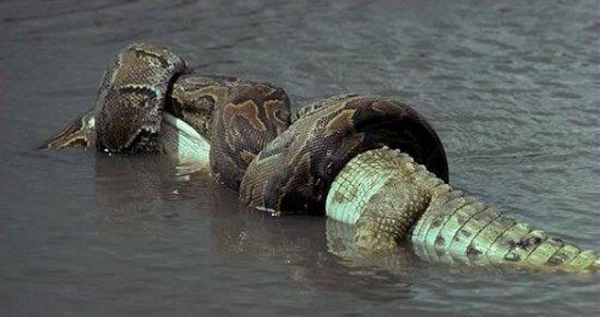 La anaconda verde o común es una serpiente constrictora de la familia de las boas, endémica de los ríos del trópico de Sudamérica
