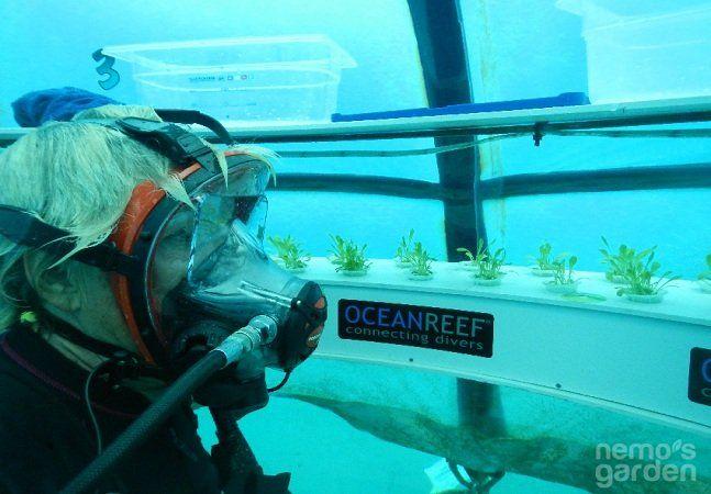 Sergio Gamberini, presidente da italiana Ocean Reef Group descobriu uma nova maneira de cultivar alimentos, através da imersão de estufas no fundo do oceano. O projeto intitulado Nemo's Garden (O Jardim do Nemo) teve início há três anos e hoje conta com cinco estufas subaquáticas no formato de balões transparentes imersas, localizadas ao largo da costa de Noli, Itália, à aproximadamente oito metros abaixo do Mar Mediterrâneo. A alternativa é uma ótima opção para o desenvolvimento agrícola em…