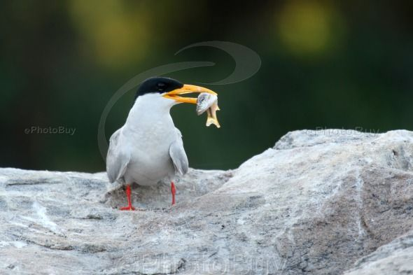 River Tern with Kill