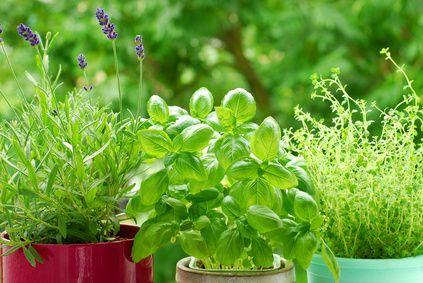 Il est facile d'éliminer les pucerons de vos plantes avec ce traitement anti pucerons naturel. Grâce à cette astuce de grand-mère, les parasites seront repoussés par le basilic.