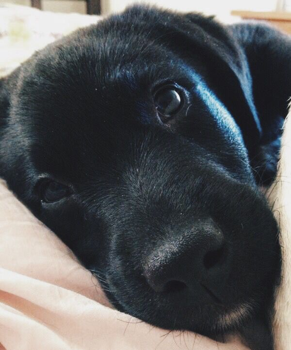 "Need. Sleep?  I'm here , buddy!  Your new best. Friend ."" Oh. Give  me a home  where the Buffallo. Roam and the skies are but cloudy all day!"" Or just a decent yard.  Hello?  Here. I  Begin with  two Black. Beauty-Labrador. Pup's or older. . . If you have a property with land. Children  or not.  These dogs are the ideal family member. Make an addition to your life by adopting these living creatures!! They'll save your life from the ugliness in the world. Beauty is here. Take them home…"