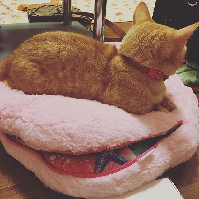 私の使ってたクッション取られた… 可愛いから許す(* ˘ ³˘)♡* #愛猫#マロン#フミフミ#寝た#アリエル#クッション#私の
