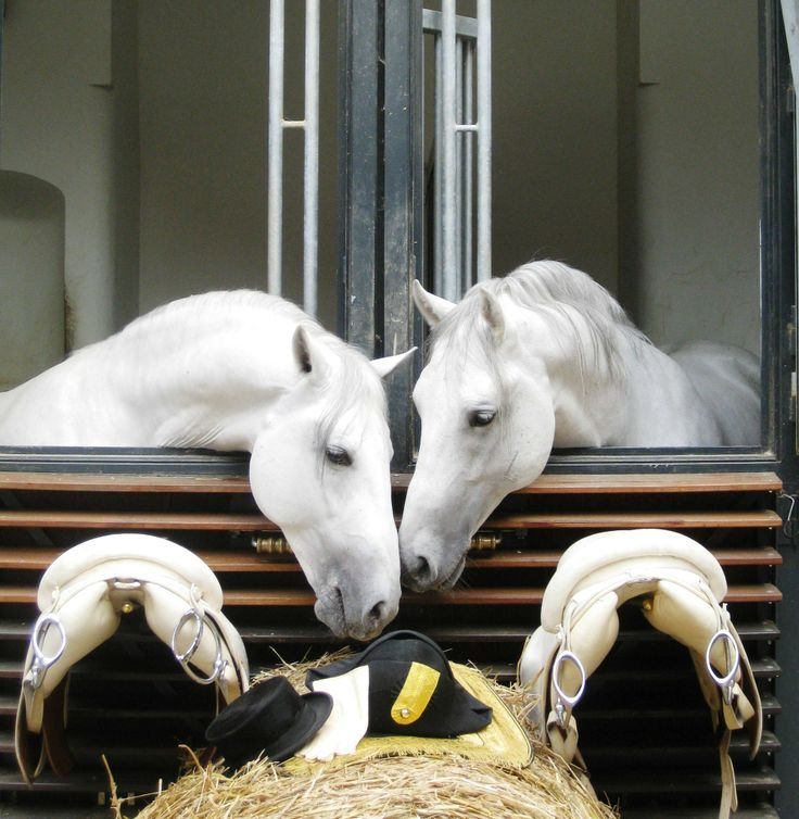 Spanish Riding School Vienna, Lipizzaner horses