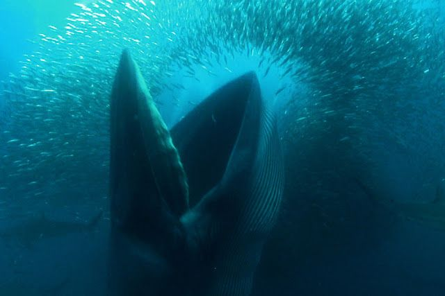 Nice Photo: whale eating sardines death amid a swarm of fish , South Africa